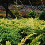 JUNIPERUS CHINENSIS Gold Lace Juniper
